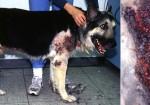 nemoce u psů a léčba s CDS2