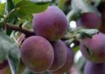 CDS2 postřik ovocných stromů